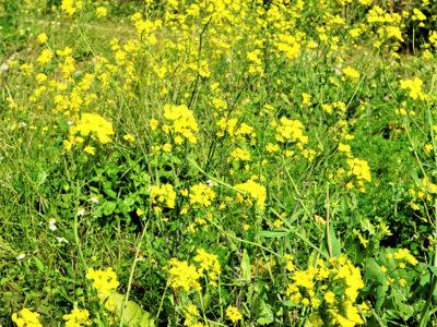 春の装い「菜の花」開花