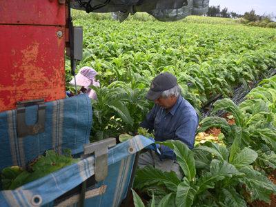 葉タバコの収穫始まる