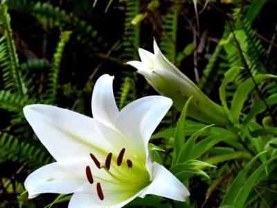 自生地で「ウケユリ」開花