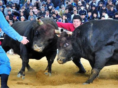 新春闘牛大会で魅了 徳之島