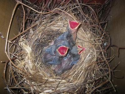 県鳥ルリカケス 「種の保存へ」上野動物園で飼育