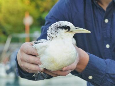 熱帯の海鳥「シラオネッタイチョウ」