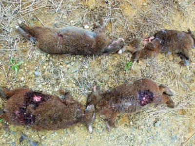 クロウサギ4匹の死骸