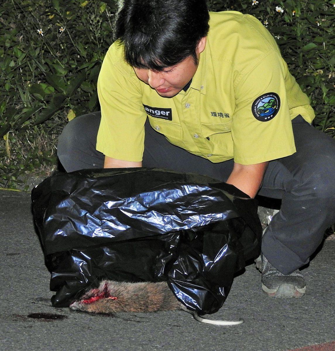 ケナガネズミ交通事故死多発