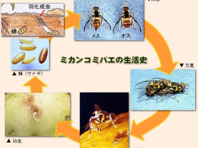 徳之島町で幼虫寄生確認