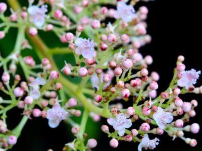 「アマミクサアジサイ」開花