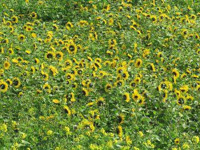 サトウキビ畑に菜の花とヒマワリ