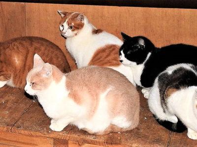 徳之島外ネコ トキソプラズマ感染率47・2%