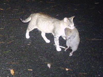 無残! ネコがケナガネズミ捕殺