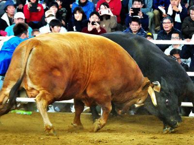 徳之島 新春闘牛大会で魅了