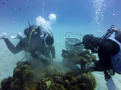 福岡県の水族館で育ったサンゴ 1年半ぶりに龍郷湾に