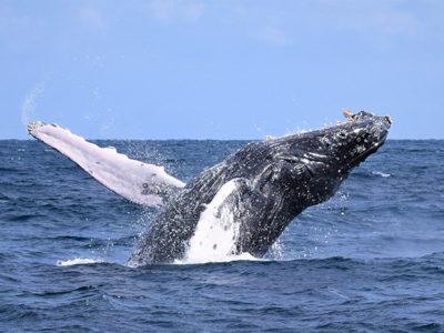 ザトウクジラの出現頭数