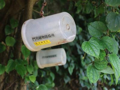 ミカンコミバエ誘殺 6月、県内26匹と急増