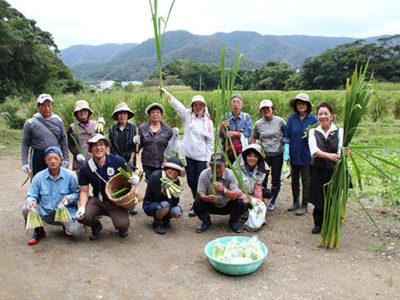 マコモ収穫体験