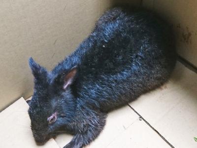 負傷クロウサギを保護・搬送